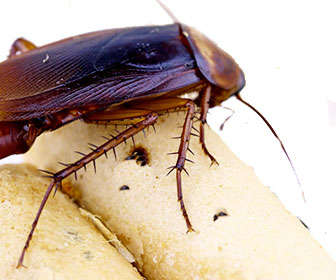 Cucaracha comiendo restos de alimentos en la cocina