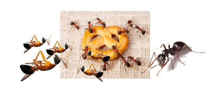 Cómo matar hormigas y eliminarlas de casa y de la cocina