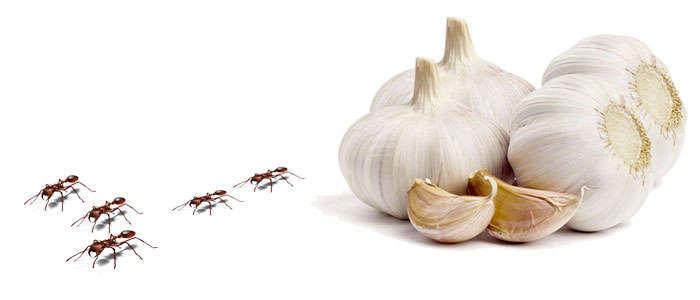 remedios naturales para eliminar hormigas dentro casa