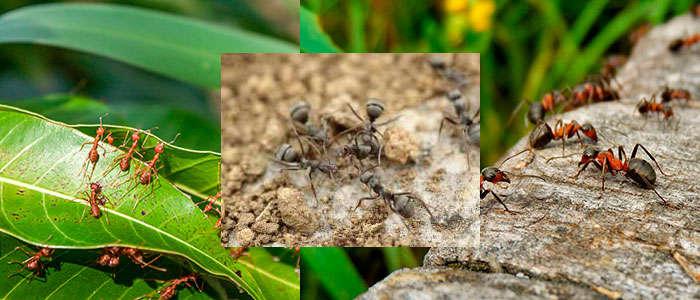 Cómo matar o eliminar hormigas del jardín