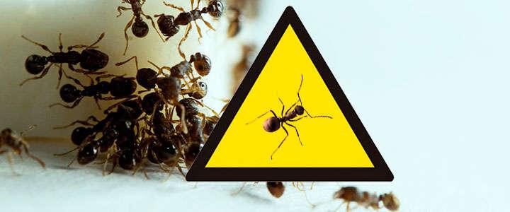 Veneno para las hormigas de jardín y de casa (ecológico, natural y químico)